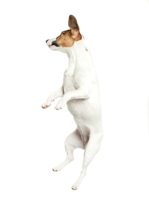 28490139 - little dog jumping on white