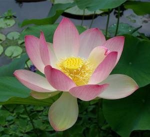 654px-Sacred_lotus_Nelumbo_nucifera